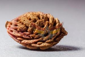 şeftali çekirdeği kabuğu (3)